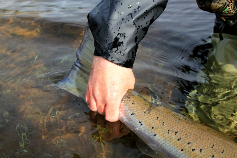 Big salmon, Iceland