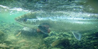 Atlantic Salmon released
