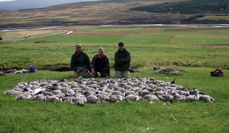 Goose,Hunting,Iceland