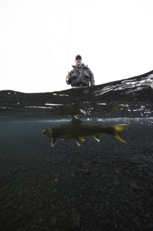 Arctic char, Iceland,