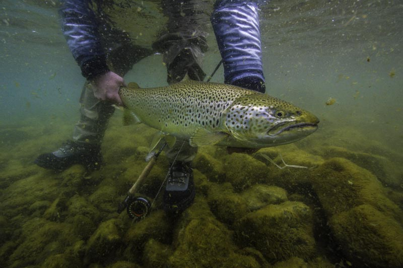 Big trout in Lake thingvellir