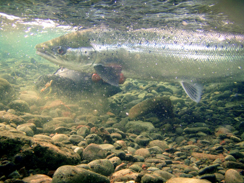 Iceland-salmon-released-fishing-fly fishing-angling